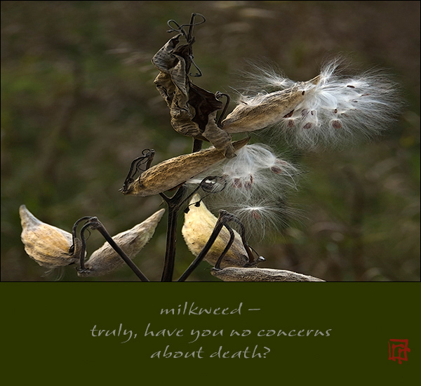 """'milkweed� / truly, have you no concerns / about death?"""" by Ray Rasmussen"""