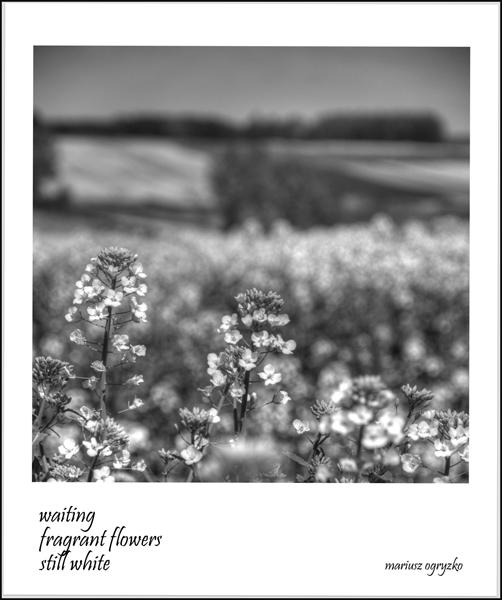 'waiting / fragrant flowers / still white' by Mariusz Ogryzko