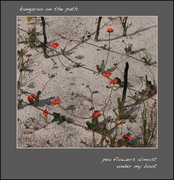 'kangaroo on the path / pea flowers almost  / under my boot' by Linda Pilarski