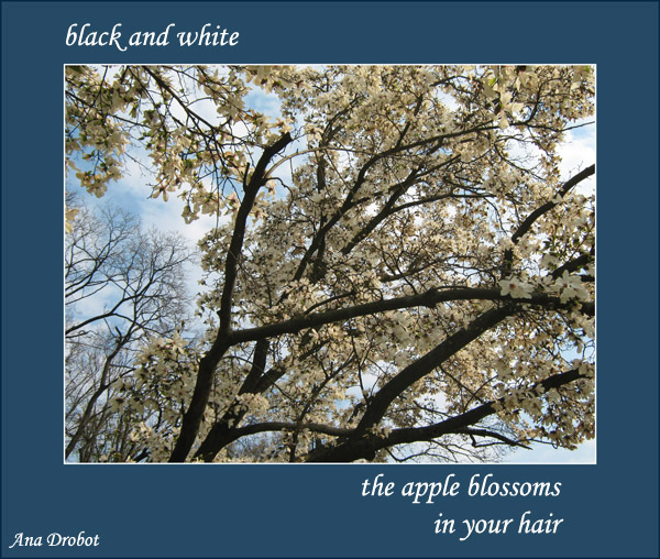 'black and white / the apple blossoms / in your hair' by Ana Drobot