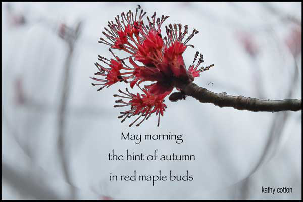 'May morning / the hint of autumn / in red maple buds' by Kathy Lohrum Cotton