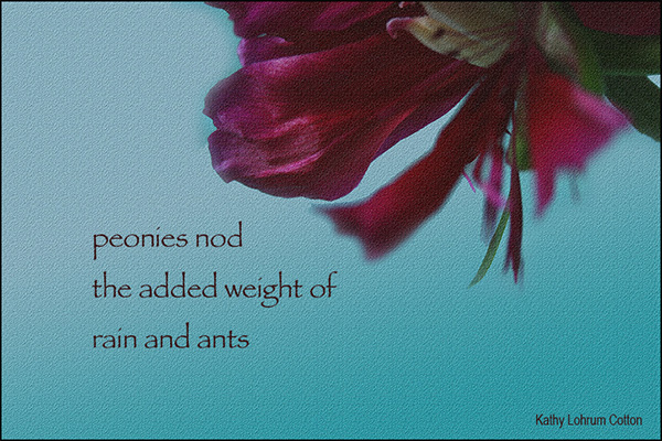 'peonies nod / the added weight of  / rain and ants' by Kathy Cotton