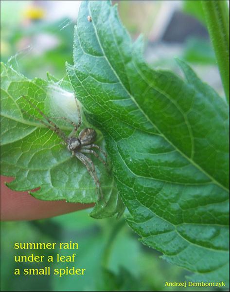 'summer rain / under a leaf / a small spider' by Andrzej Dembonczyk.