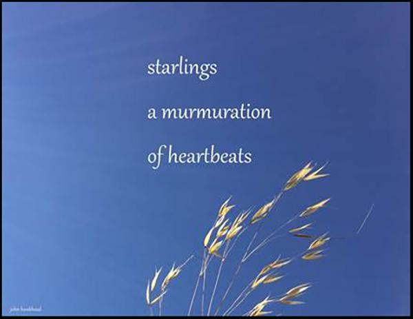 'starlings / a murmuration / of heartbeats' by John Hawkhead