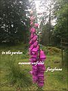 'in the garden / summer unfolds / foxgloves' by Mamta Madhaven
