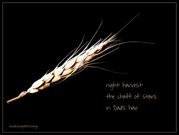 """night harvest / the chaff of stars / in Dad's hair' by Debbie Strange.  Haiku first published in Stardust Haiku 12 Dec 2017"