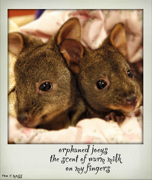'orphaned joeys / the scent of warm milk / on my fingers' by Ron Moss