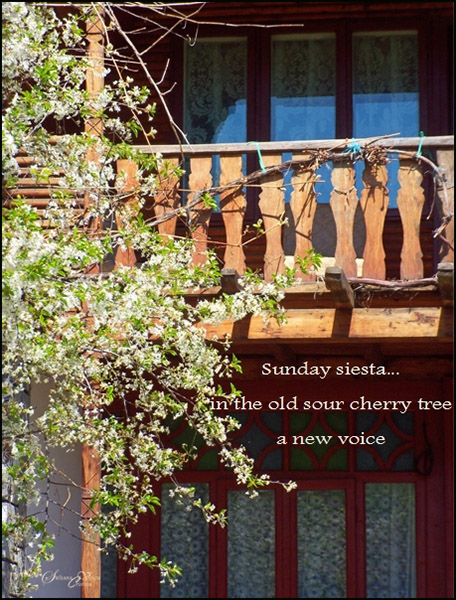 'sunday siesta... / in the old sour cherry tree / a new voice' by Steliana Voicu