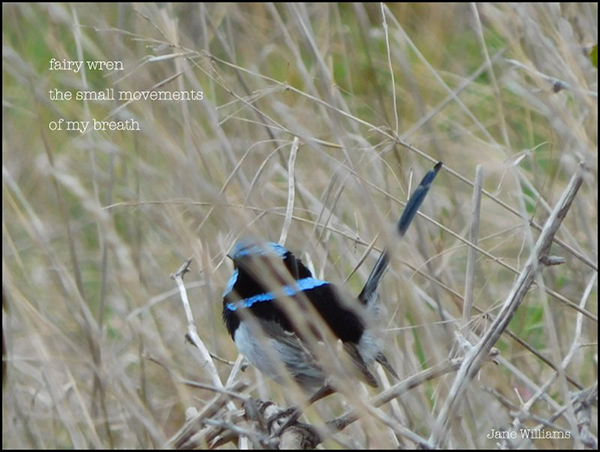 'fairy wren / the small movements of / of my breath' by Jane Williams