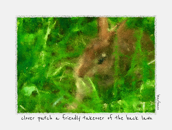 'clover patch a friendly takeover of the back lawn' by Barbara Kaufmann