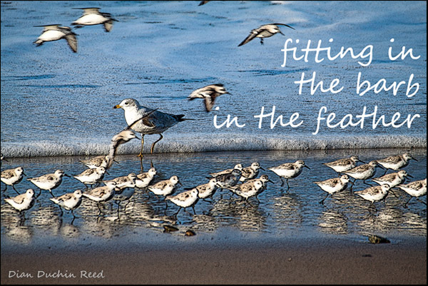 'fitting in / the barb / in the feather' by Dian Reed
