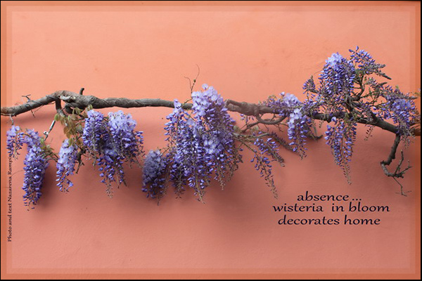 """absence... / wisteria in bloom / decorates home' by Nazarena Rampini"