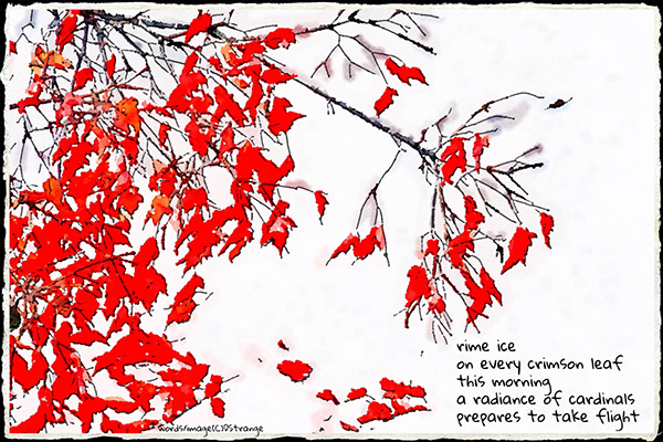 'rime ice / on every crimson leaf / this morning / a radiance of cardinals / prepares to take flight' by Debbie Strange. Tanka frst published in Gusts 31, Spring/Summer 2020