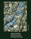 'away two days� /  hawthorne trees / bursting their buds' by Adelaide Shaw