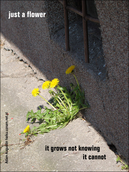 'just a flower / it grows not knowing / it cannot' by Adam Augustin. Translated by Hubert Augustin.