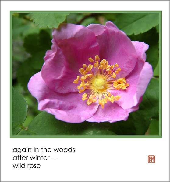 'again in the woods / after winter� / wild rose' by Ruth Mittelholtz
