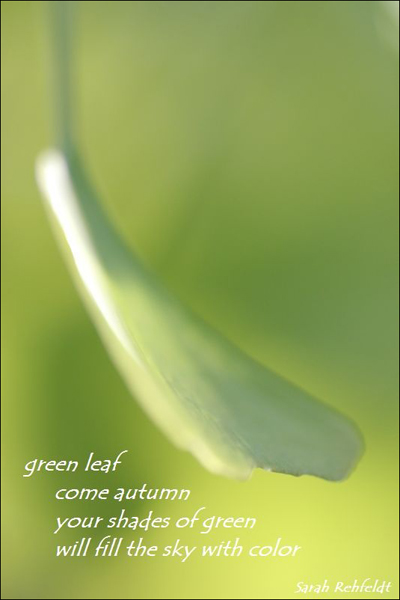"""""""green leaf / come autumn / your shades of green / will fill the sky with color"""" by Sarah Rehfeldt"""