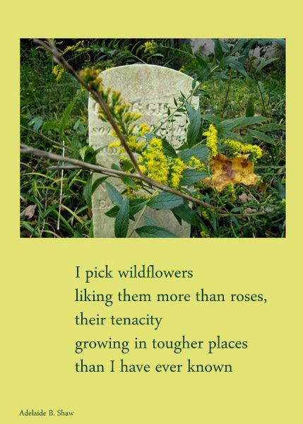 'I pick wildflowers / liking them more than roses, / their tenacity / growing in tougher places / than I have ever known' by Adelaide Shaw