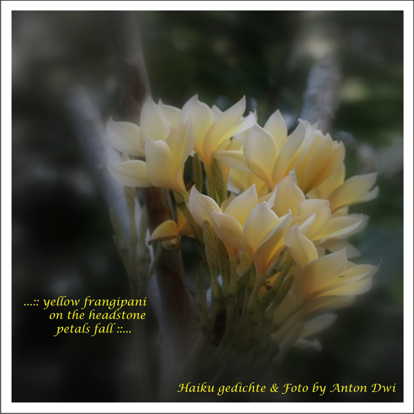'...yellow frangipani / on the headstone / petals fall...' by Anton Dwi