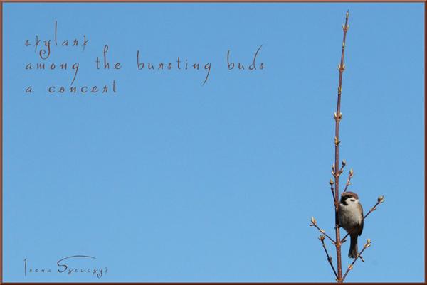 'skylark / among the bursting buds / a concert' by Irena Szewczyk