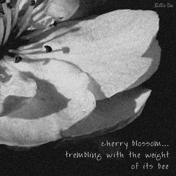 'cherry blossom... / trembling with the weight / of its bee' by Billie Dee. This haiku won the Sakura Award in the 2008 Vancouver Cherry Blossom Festival International Haiku Contest.