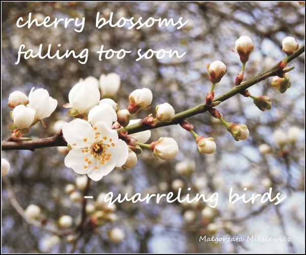 'cherry blossoms ? falling too soon / �quarreling birds' by Malgorzata Miksiewicz