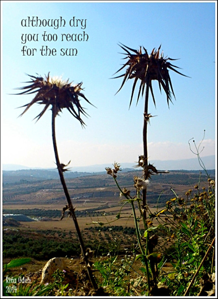 'although dry / you too reach / for the sun' by Rita Odeh
