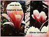 'new love / magnolia buds' by Olivier Schopfer