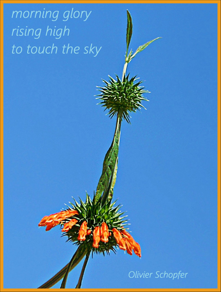 'morning glory / rising high / to touch the sky' by Olivier Schopfer
