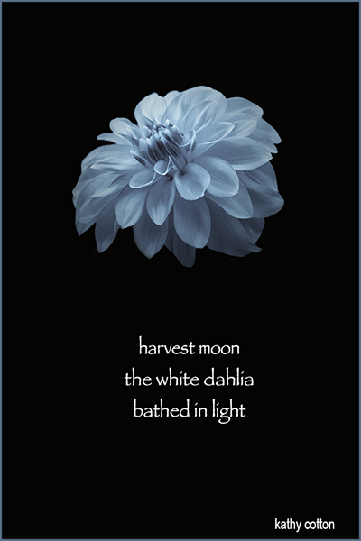 'harvest moon / the white dahlia / bathed in light' by Kathy Cotton