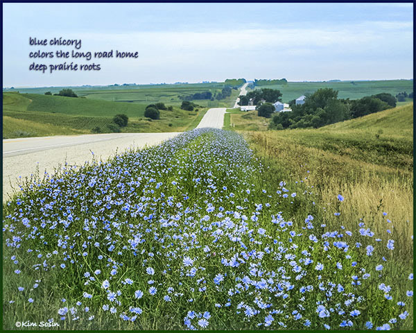 'blue chicory / colors the long road home / deep prairie roots' by Kim Sosin