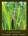 'on top of the bulrush / the dragonfly  attached  detached' by Sandra Mooney-Ellerbeck
