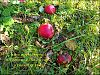 'after apple harvest / forgotten in the orchard / a basket of stars' by Steliana Voicu.  Haiku first published in The Mainichi 2014
