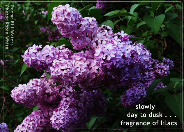 'slowly / day to dusk... / the fragrance of lilacs' by Bill Waters. Art by Robin White