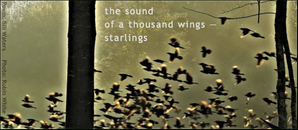 'the sound / of a thousand wings� / starlings' by  Bill Waters. Art by Robin White