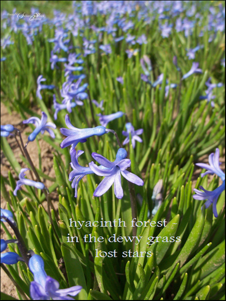 'hyacinth forest / in the dewy grass / lost stars' by Steliana Voicu