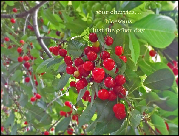 'sour cherries... / blossoms / just the other day' by Steliana Voicu