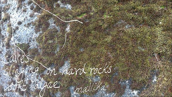 'caves / clinging on hard rocks / soft algae' by Mallika Chari