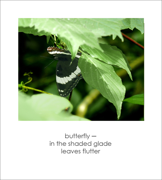 """""""butterfly� / in the shaded glade / leaves flutter' by Ruth Mittelholtz"""
