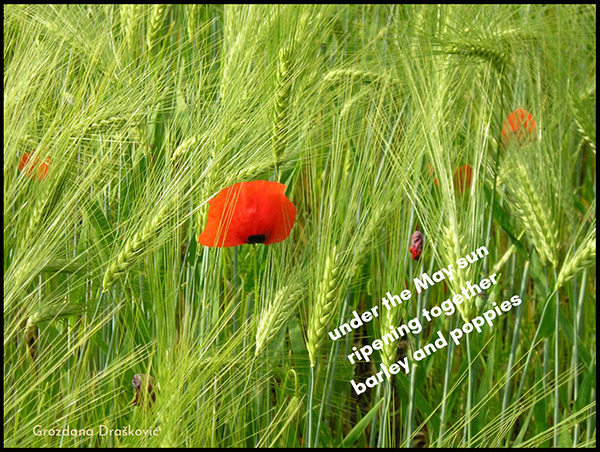 'under the May sun / ripening together / barley and poppies' by Grozdana Draskovic