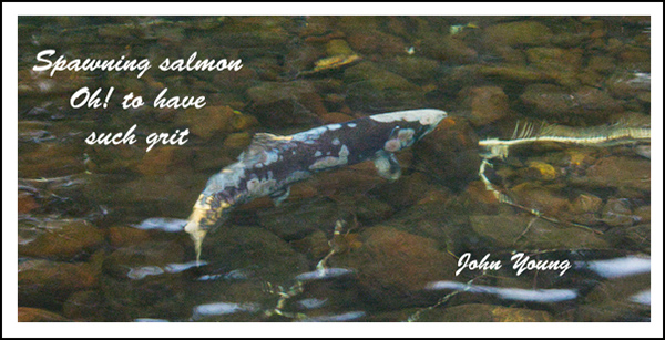 'spawning salmon / Oh! to have / such grit' by John Young