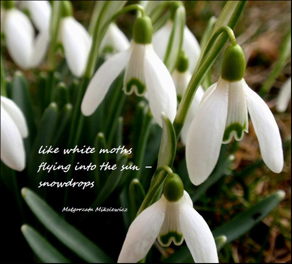 'like white moths / flying into the sun� / snowdrops' by Malgorzata Miksiewicz